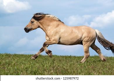 Beautiful fjord horse running on pasture