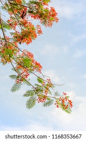 Beautiful flamboyant flowers blossoming with blue sky background in summer.(Hanoi, Vietnam)