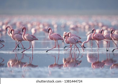 Beautiful flamingo in lake nakuru, Kenya