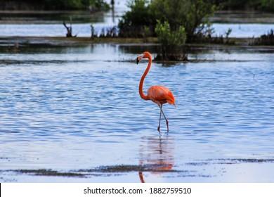 Beautiful Flamingos close to Playa Girón, Cuba; Wild-living birds in cuban national park