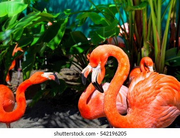 Beautiful flamingos in the park. Orlando Florida.