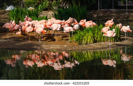 Beautiful flamingos in San Diego Zoo and Safari park, California