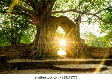 Beautiful Flare light from the sun shines,a big tree on the old wall at Wat phar ngam,Ayutthaya,Thailand,Unseen Historic old city of Thailand.