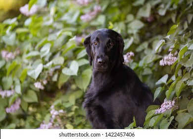 Beautiful flat coated retriever dog sitting in the park alone with a scared expression, eyes wide, waiting