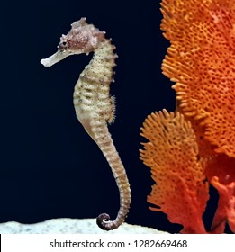 The beautiful flat-faced seahorse or three-spot seahorse in marine aquarium. Hippocampus trimaculatus is a species of fish in the family Syngnathidae. Its natural habitat is shallow seas.