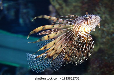Beautiful floating lion fish. Zebra lion fish Pterois is a genus of venomous marine fish, commonly known as lionfish, native to the Indo-Pacific.