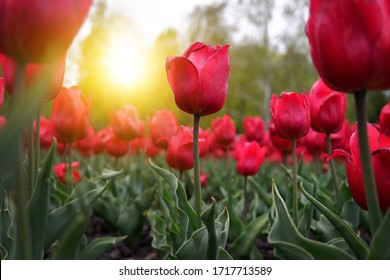 Beautiful floral background of bright red Dutch tulips blooming in the garden in the middle of a sunny spring day with a landscape of green grass and blue sky.