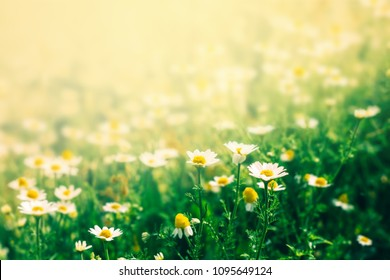 Beautiful floral background with chamomile flowers