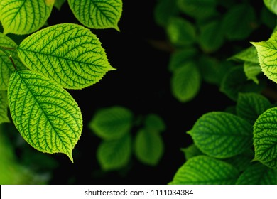 Beautiful floral background of green foliage leaves natural floral background cherry in sunlight micronutrient deficiency in cherry interveinal chlorosis