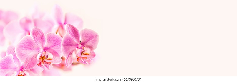Beautiful floral background. Pink phalaenopsis orchids on a light background. Pastel colors. Selective focus. Close up.