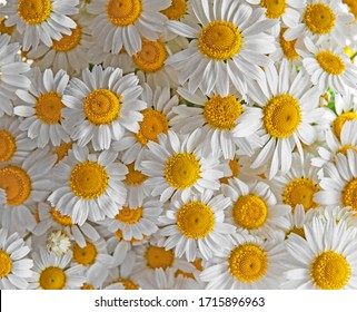 Beautiful floral background of white daisies