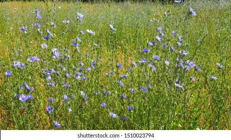 Beautiful floral landscape. Field of blue Chicory. Cichorium intybus flowers, called as blue sailors, coffee weed, or common succory is herbaceous, perennial plant of the dandelion family Asteraceae.
