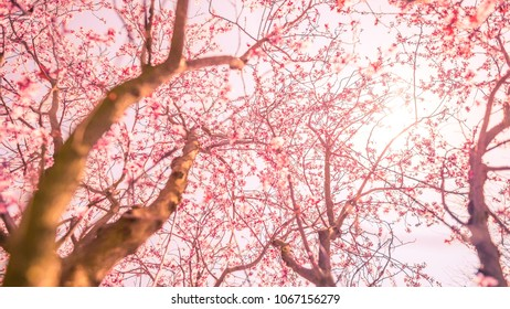 Beautiful floral spring abstract background of nature. Branches of blossoming apricot close-up with soft focus on gentle light and sun rays background. Spring greeting cards with copy space