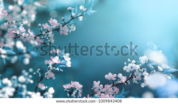 Beautiful floral spring abstract background of nature. Branches of blossoming apricot macro with soft focus on gentle light blue sky background. For easter and spring greeting cards with copy space