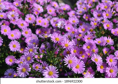 Beautiful flower abstract background of nature. Astra perennial. Astra Alpine. Aster alpinus. Floriculture, home flower bed. Delicate purple flowers, perennial plant