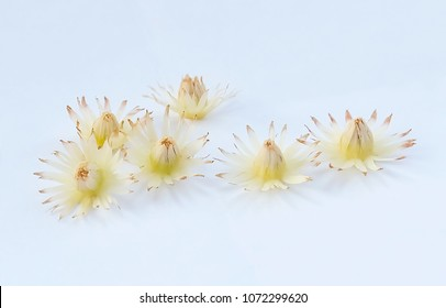 Beautiful Flower, Aromatic Mimusops Elengi, Spanish Cherry, Medlar, Bullet Wood or Bokul Flowers on White Background.