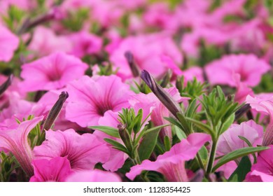 Beautiful flower bed of pink petunias outdoors in summer garden