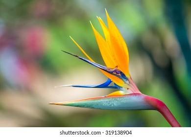 Beautiful flower, Bird of Paradise flower (Strelitzia reginae)