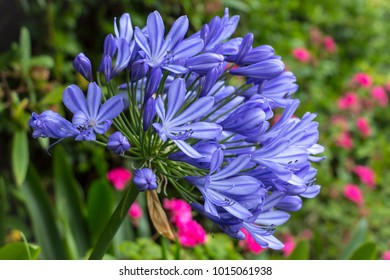 Beautiful flower. Blue Agapanthus. Agapanthus is a genus of herbaceous perennials that mostly bloom in summer. Agapanthus are commonly known as lily of the Nile. Was seen in Wellington, New Zealand.