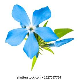 Beautiful flower blue phlox (original botanical name - Phlox divaricata) isolated on a white background in macro lens shoot isolated on a white background.