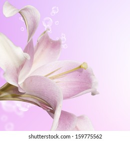 Beautiful flower card. Pink Lily