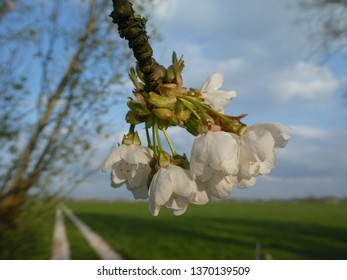 beautiful flower from a cherrytree