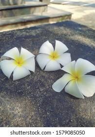 Beautiful flower closeup, frangipani background photostock