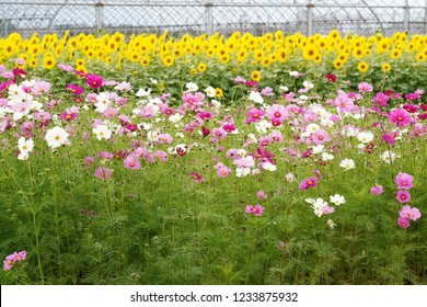 Beautiful flower cosmos with sunflower at the fild