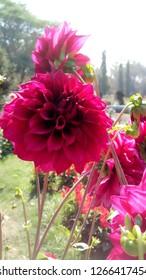 Beautiful Flower Daliya