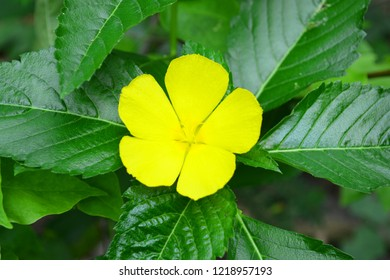 Beautiful flower Damiana in Thailand.