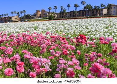 The beautiful Flower Fields at Carlsbad, California