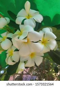 Beautiful flower frangipani, closeup white flower background photostock