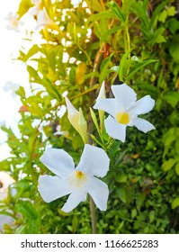 Beautiful Flower, Fresh White Trumpet Flowers Blooming with Green Leaves on The Plant in A Morning Shine.