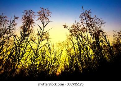 beautiful flower of grass in sun set