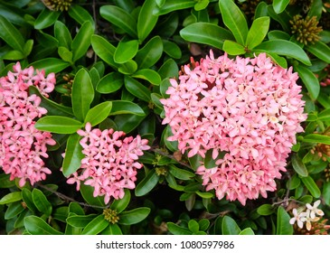 Beautiful Flower, Group of Fresh Pink Ixora Flowers with Green Leaves on Tree in A Garden.
