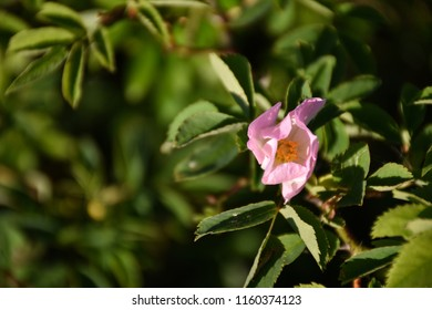 Beautiful flower head of a blossom pink wildrose