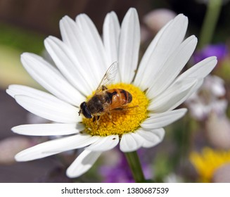 a beautiful flower head of a camomile with a bee in the middle