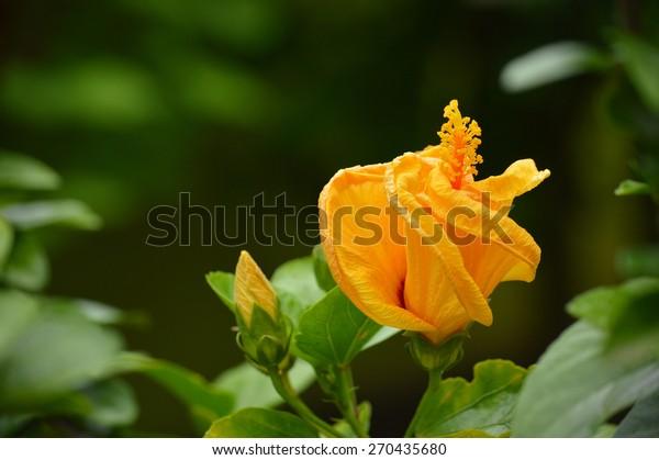 beautiful flower Hibiscus rosasinensis