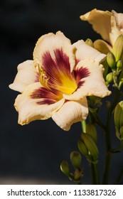 Beautiful flower of hybrid daylily pink with purple closeup on dark background