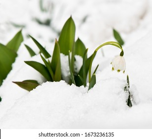 Beautiful flower of Leucojum vernum (spring snowflake) blooming through the snow in sunny day