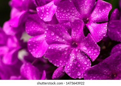 Beautiful flower. Macro photo nature Phlox subulata flower. Texture background blooming Phlox. The image of a plant blooming Phlox.
