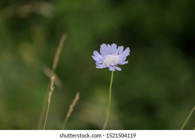 Beautiful flower in the meadow. Scabiosa Caucasica
