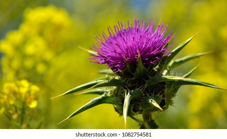 Beautiful flower of milk thistle and yellow background, Silybum marianum