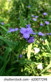 Beautiful flower (Ohio Spiderwort) on a bright sunny day