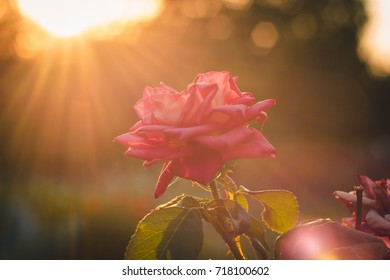 beautiful flower on a sunset background with rays