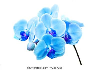 Beautiful flower Orchid, blue phalaenopsis close-up