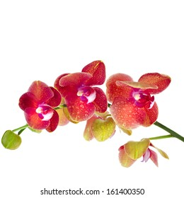 Beautiful Flower Orchid close up macro isolated on white background