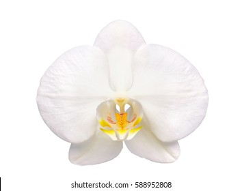 Beautiful flower Orchid, white phalaenopsis isolated on white background