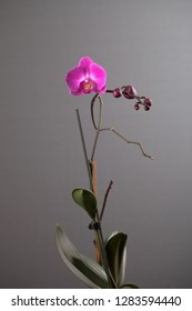 Beautiful flower pink orchid on a gray background