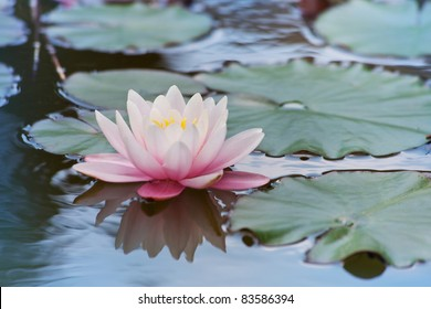 Beautiful flower pink water lily with green leaves